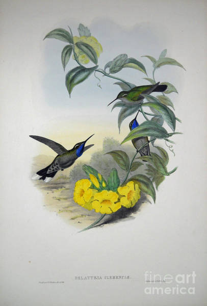 Painting -  Blue-throated Cazique by Celestial Images