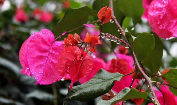 Photograph -  Bougainvillea In The Rain by Susan Vineyard