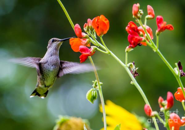 Broad-tailed Hummingbird Photograph -  Broad-tailed Hummingbird 4 - Utah by Gary Whitton
