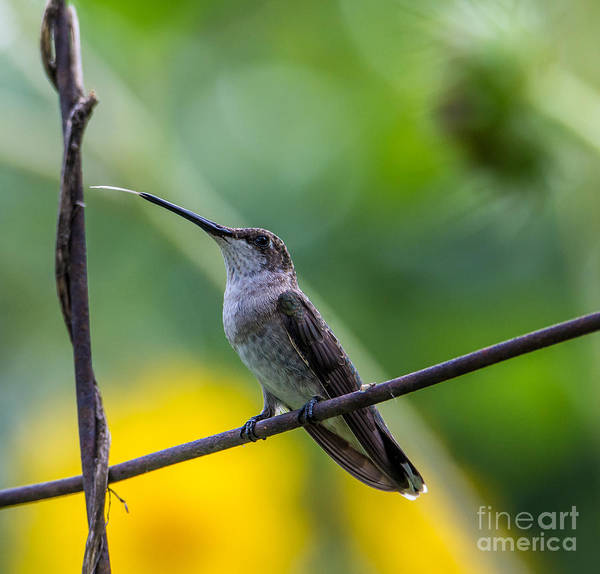 Broad-tailed Hummingbird Photograph -  Broad-tailed Hummingbird 5 - Utah by Gary Whitton