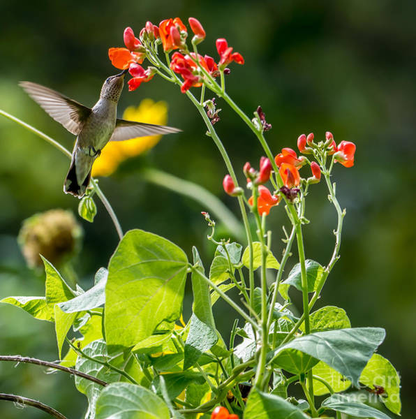 Broad-tailed Hummingbird Photograph -  Broad-tailed Hummingbird - Utah by Gary Whitton