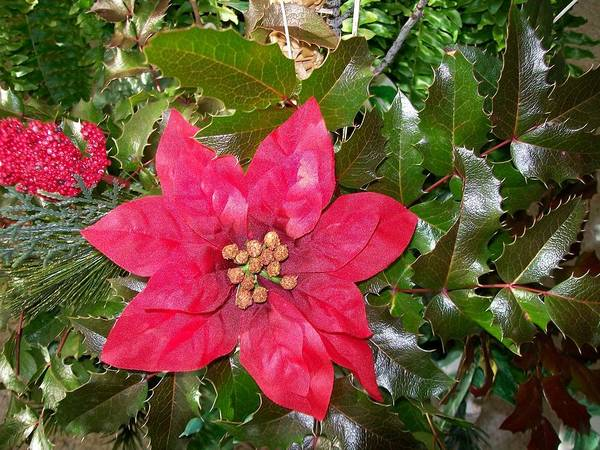 Photograph -  Christmas Poinsettia by Sharon Duguay