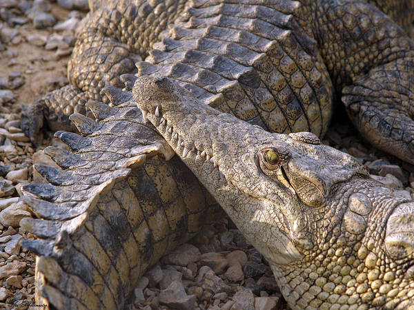 Crocodile - Time To Rest Art Print