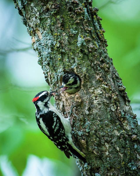 Photograph -  Downy Woodpecker Feeding Chick by Jeff Phillippi