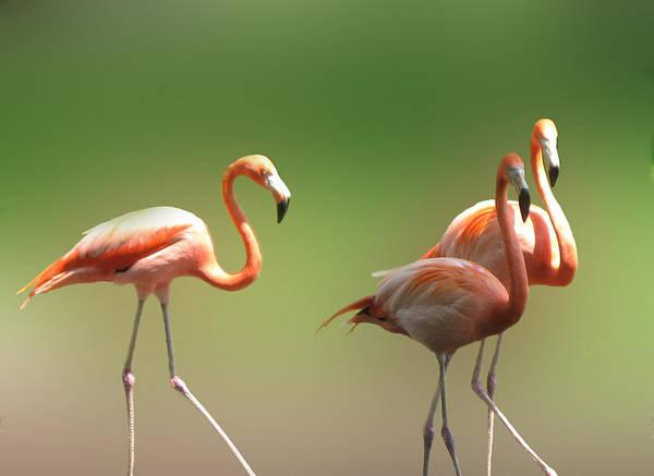Wall Art - Photograph -  Flamingos  by Art Spectrum