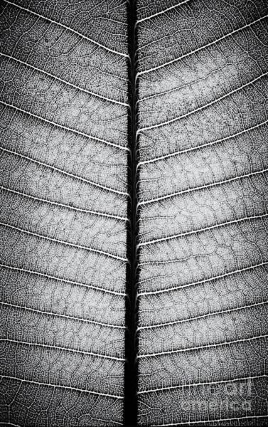 Plumeria Photograph -  Frangipani Leaf by Tim Gainey