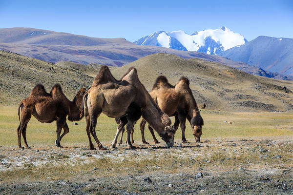 Photograph -  Grazing Camels At Kosh-agach Altai by Victor Kovchin