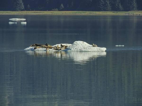 Photograph -  Harbor Seals On Bergy Bit  by NaturesPix