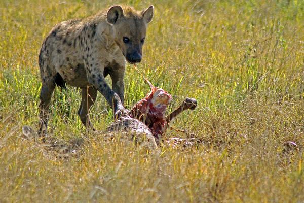 Photograph -  Hyena With Kill by Tony Murtagh