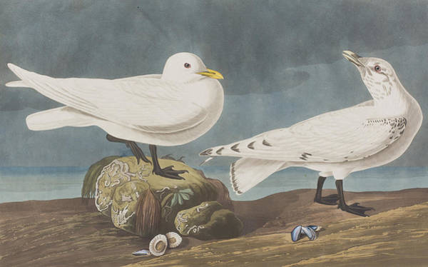 Gull Painting -  Ivory Gull by John James Audubon