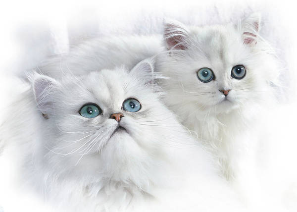 Long Hair Cat Photograph -  Kittens by David and Carol Kelly