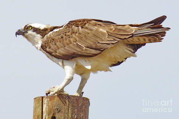 Wall Art - Photograph -  Lone Osprey by Tom Cheatham