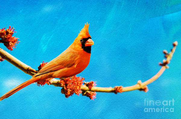 Wall Art - Photograph -  Male Northern Cardinal Perched On Tree Branch by Laura D Young
