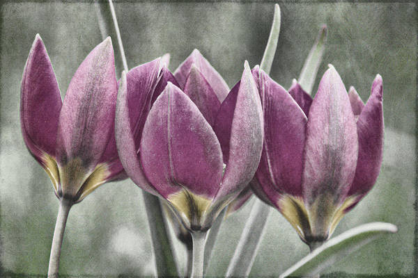 Photograph -  Miniature May Tulips Txt by Theo O'Connor