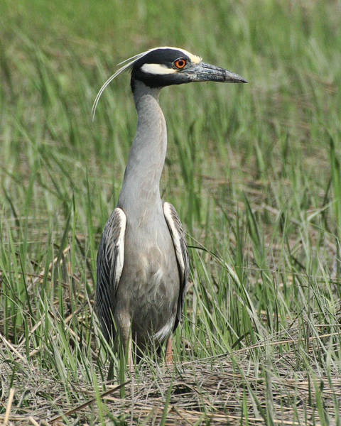 Photograph - Night Heron In Profile by William Selander