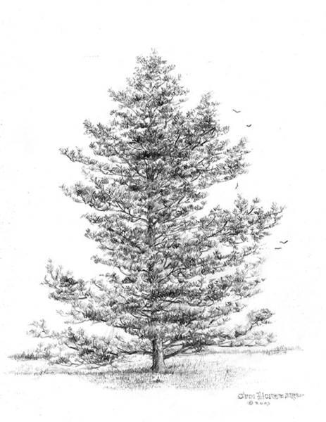 Wall Art - Drawing -  Pine by Jim Hubbard