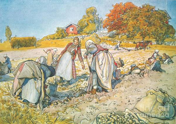 Painting -  Potato Harvesting by Carl Larsson