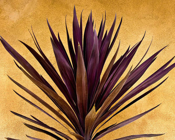 Southwest Photograph -  Purple Giant Dracaena Santa Fe by John Hansen