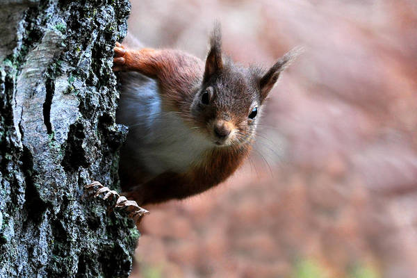 Photograph -  Red Squirrel by Macrae Images
