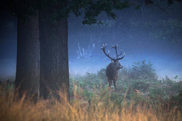 Red Deer Photograph -  Richmond Park Stag by Ian Hufton