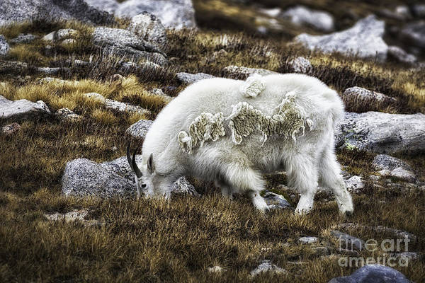Photograph -  Rocky Mountain Goat by Bitter Buffalo Photography
