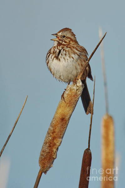 Wall Art - Photograph -  Song Sparrow by Tom Cheatham