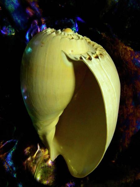 Photograph -   Voluta Amphora Seashell by Frank Wilson