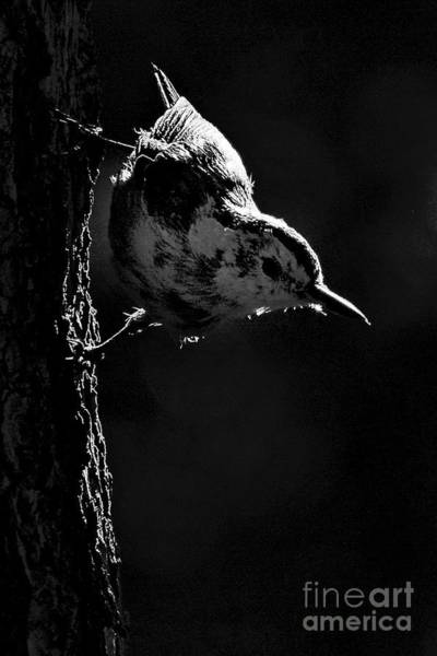 Wall Art - Photograph -  White Breasted Nuthatch by Tom Cheatham