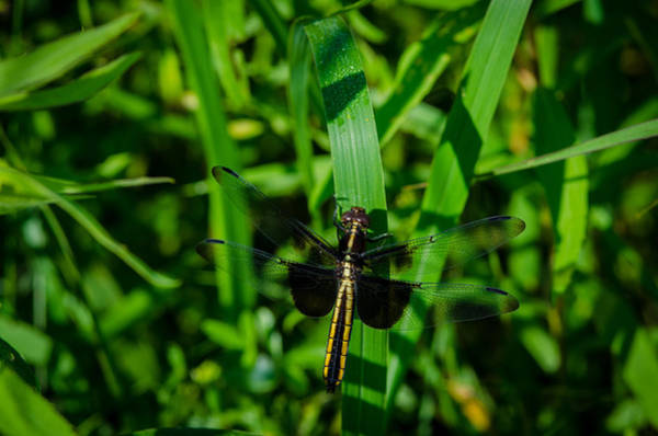 Photograph -  Widow Skimmer  by Jeff Phillippi
