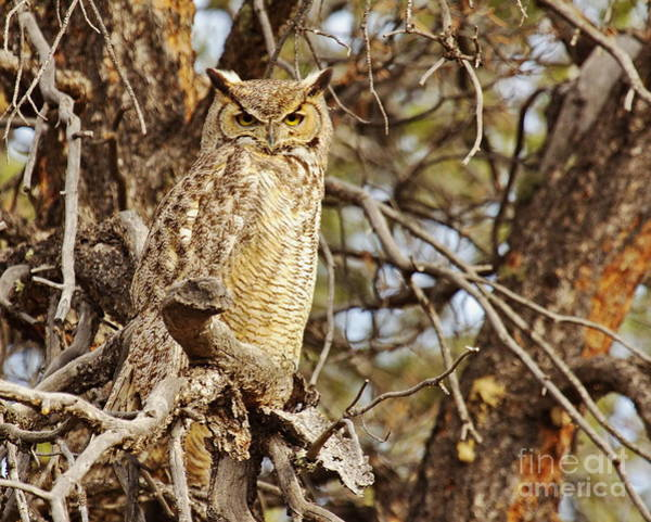 Wall Art - Photograph -  Wild Great Horned Owl by Tom Cheatham