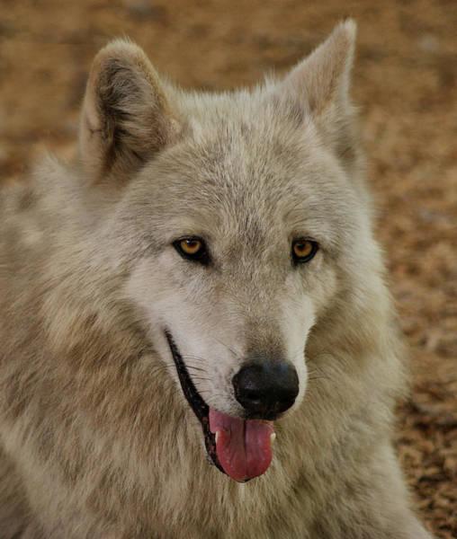Photograph -  Wolf  by Sandy Keeton