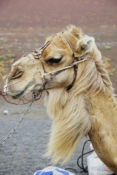 Lanzarote Digital Art - 026 Camel  by Mark Brooks