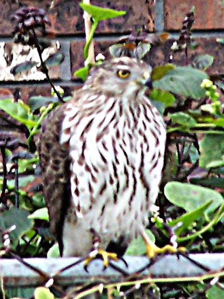 Digital Art - 03192015 Sparrow Hawk by Garland Oldham