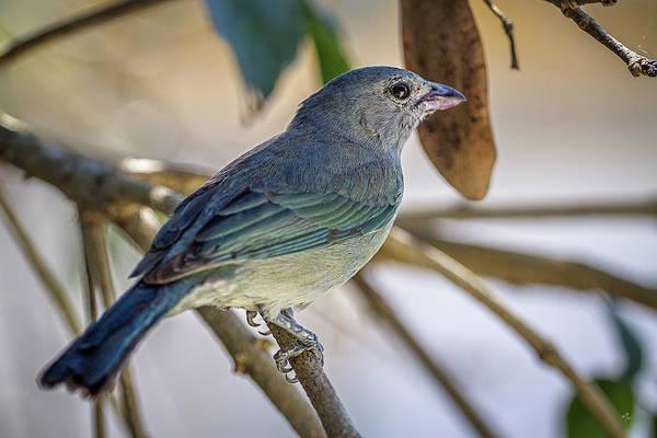 Photograph - 0373-sanhacu De Encontro Azul by Carlos Mac
