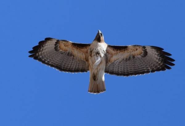Photograph - Hawk Male Tower Rd Denver by Margarethe Binkley