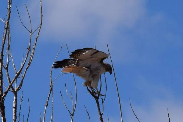 Photograph - Red Tail Hawk Female Tower Rd Denver by Margarethe Binkley