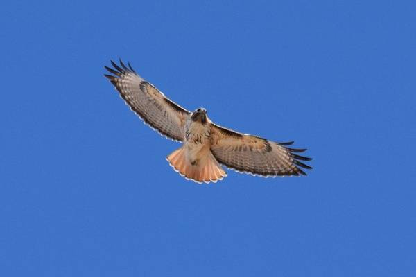 Photograph - Red Tail Hawk Male Tower Rd Denver by Margarethe Binkley