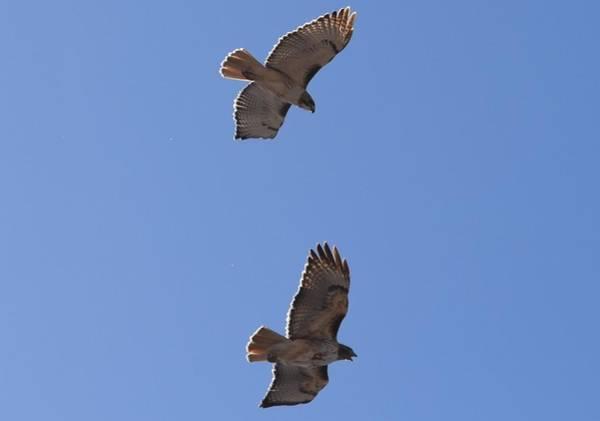 Photograph - Red Tail Hawks Female - Male Towr Rd Denver by Margarethe Binkley