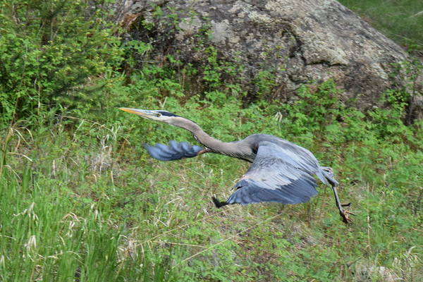Photograph - Great Blue Heron At 11 Mile Canyon Co by Margarethe Binkley