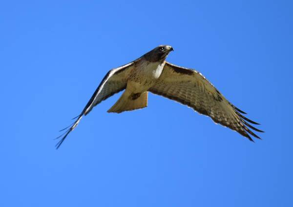 Photograph - Red Tail Hawk Burgess Res Co by Margarethe Binkley