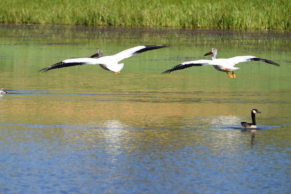 Photograph - Pelicans Burgess Res Co by Margarethe Binkley