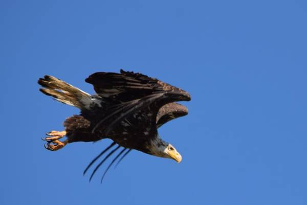Photograph - Bald Eagle Juvenile Burgess Res by Margarethe Binkley