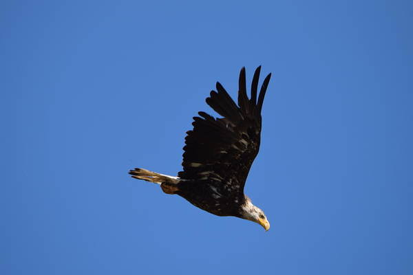 Photograph - Bald Eagle Juvenile Burgess Res Co by Margarethe Binkley