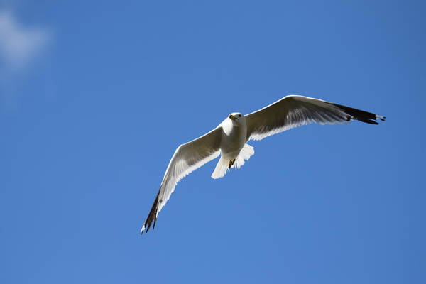 Photograph - Seagull Burgess Res by Margarethe Binkley