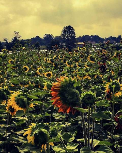 Sunflowers Wall Art - Photograph - 08-26-18 - - - Sanborn, New York by Mel Porter