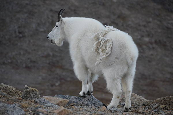 Photograph - Mountain Goat Mnt Evans Co  by Margarethe Binkley