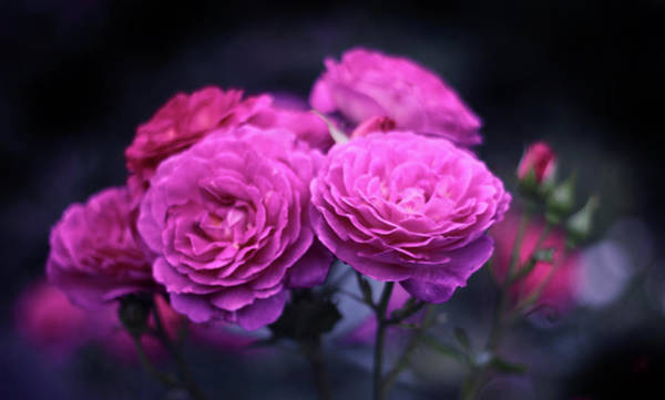Photograph - Roses By Night by Jessica Jenney