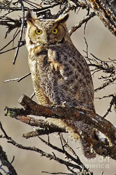 Wall Art - Photograph -  Great Horned Owl by Tom Cheatham