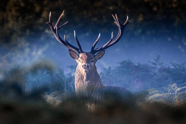 Red Deer Photograph -  Red Deer Stag by Ian Hufton