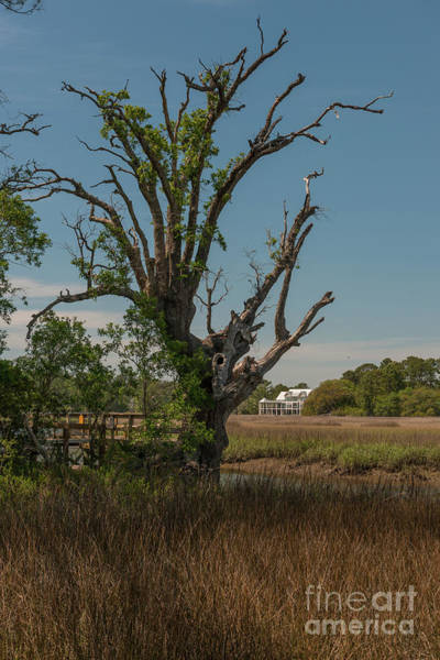 Photograph - Daniel Island Mystic Marsh Tree by Dale Powell